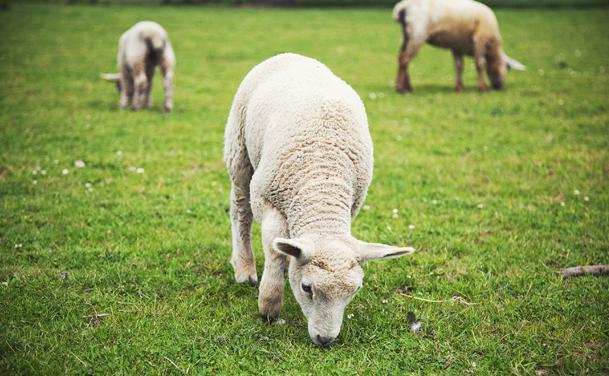 img-lambs