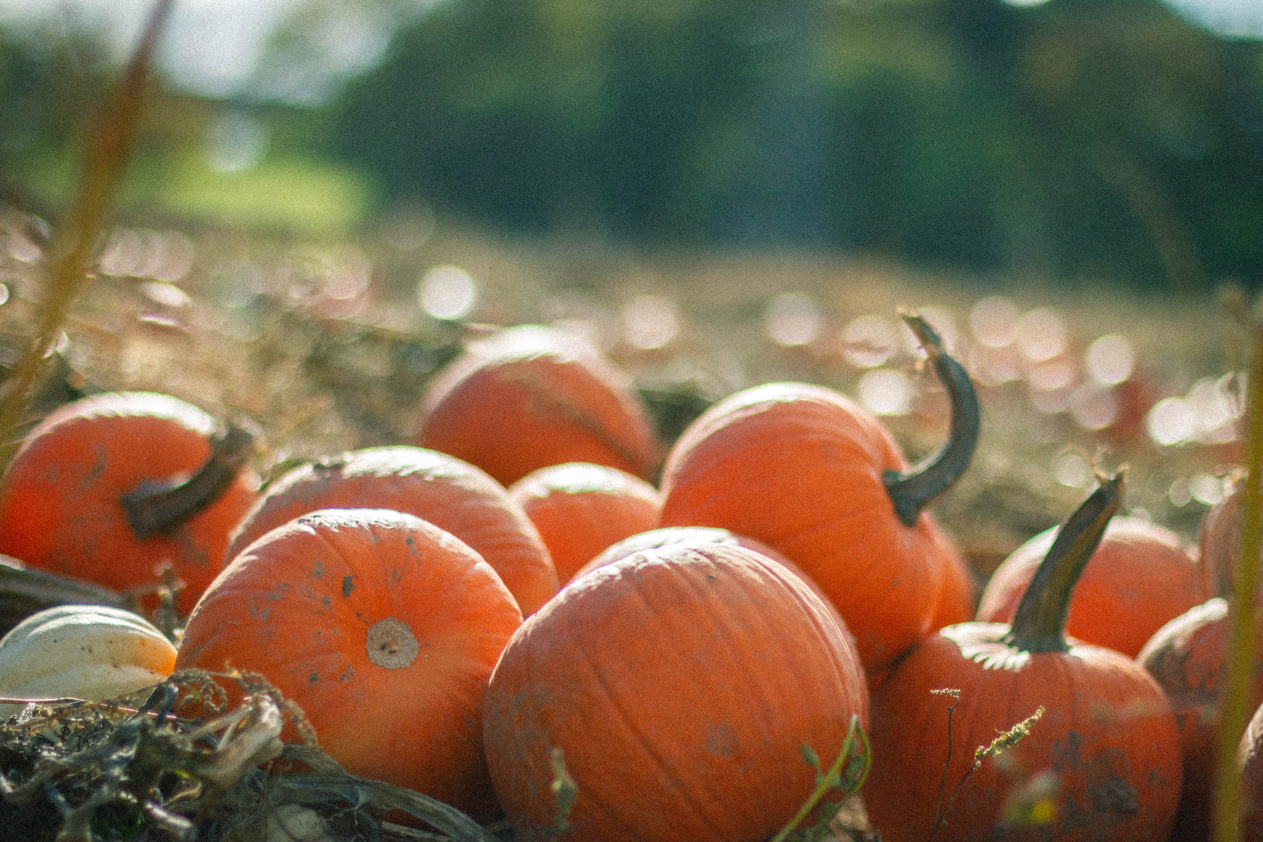Toddler Pumpkin Picking